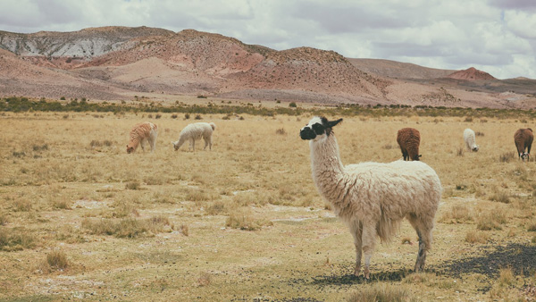 Alpaka Peru Berge
